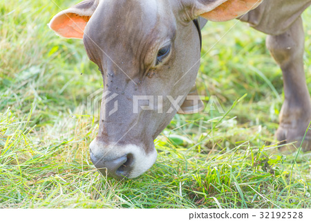 Cow eating grass in the meadow in Italy 32192528