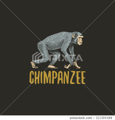 chimpanzee engraved hand drawn in old sketch style 32194388