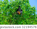 Bat hanging on a tree branch Malayan bat 32194576