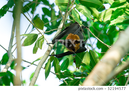 Bat hanging on a tree branch Malayan bat 32194577