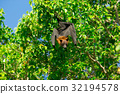 Bat hanging on a tree branch Malayan bat 32194578