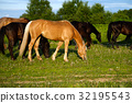 Horses grazing in the meadow at sunset 32195543