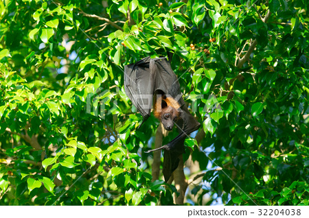 Bat hanging on a tree branch Malayan bat 32204038