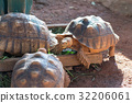 Sulcata tortoise is one of the largest tortoise 32206061