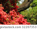 early summer, azalea, azaleas 32207353