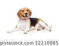 beautiful beagle dog isolated on white 32210985