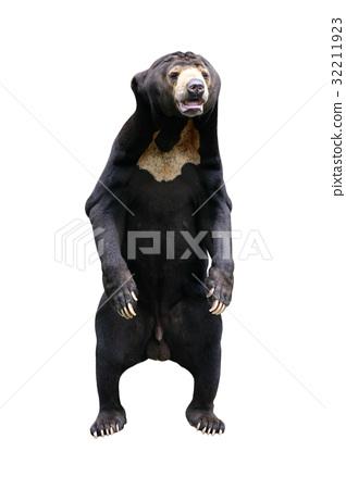 Bear isolated on white 32211923