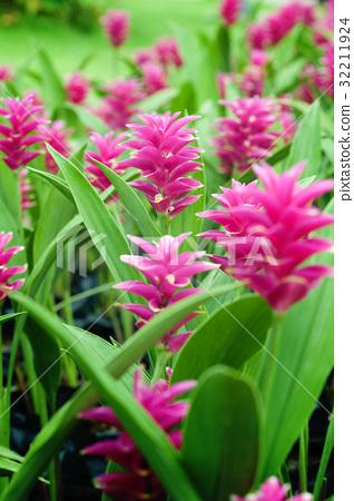 Field of siam tulip flowers 32211924