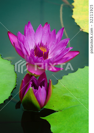 Details of water Lily with flower 32211925