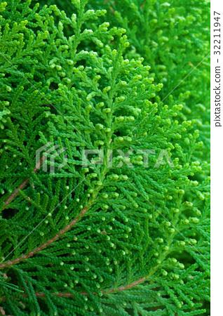 American Arborvitae (cypress tree) 32211947