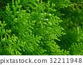 American Arborvitae (cypress tree) 32211948