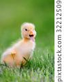 Little duckling on green grass 32212509