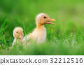 Two little duckling on green grass 32212516