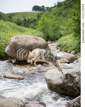 Czechosbacian · Wolfdog puppy jumping in a rocky place on the river 32214003
