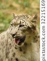 雪豹 豹 哺乳動物 32215169