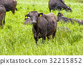 beef, cow, cattle 32215852