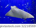 가오리, 바닷물고기, 어류 32216569