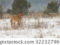 Przewalski Horse Chernobyl 32232796