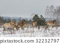 Przewalski Horses Chernobyl 32232797