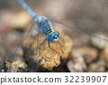 Blue dragonfly on yellow soil 32239907