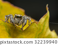 Close up macro jumping Spider 32239940