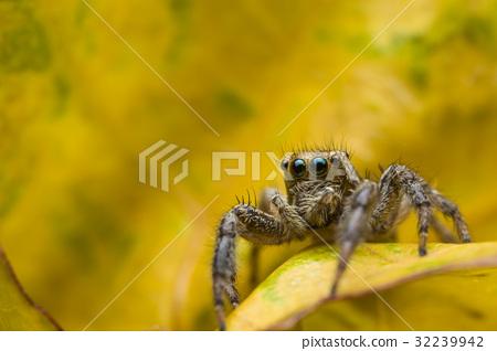 Close up macro jumping Spider 32239942
