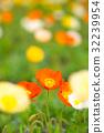 花园 橙色 橙子 32239954