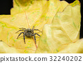 Close up macro jumping Spider 32240202