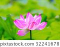 lotus, bloom, blossom 32241678