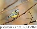 Blue tit (Parus caeruleus) on a twig 32245969