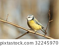 Blue tit (Parus caeruleus) on a twig 32245970