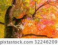 단풍, 단풍나무, 가을 32246209