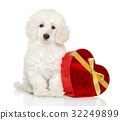 Poodle puppy with Valentine red heart 32249899