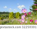 คอสมอส,ทุ่งดอกไม้,ดอกไม้ 32250301