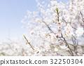 ลูกท้อ,บ๊วย,ดอกท้อญี่ปุ่น 32250304