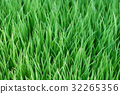 Young green paddy plant suitable background 32265356