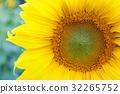 Fully blossomed sunflower 32265752