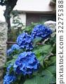 紫陽花 繡球花 花 32275388