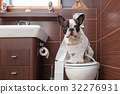French bulldog sitting on toilet at home 32276931