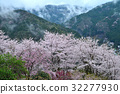 cherry blossom, cherry tree, floating clouds 32277930