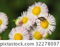 春飛蓬 紫苑 野花 32278097