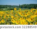 向日葵 花园 夏天 32288549
