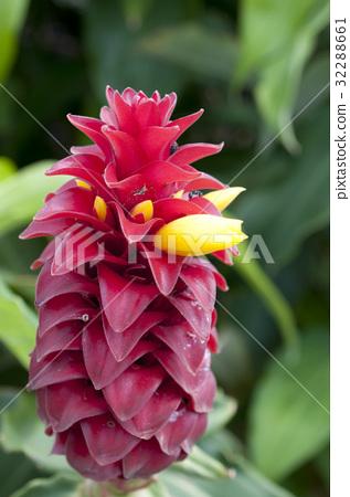 熱帶植物Costas·Barbatas(螺旋·姜) 32288661
