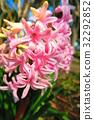 風信子 多年生植物 多年草 32292852