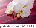 蝴蝶兰 花朵 花卉 32311038