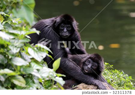猴子交配 32311378