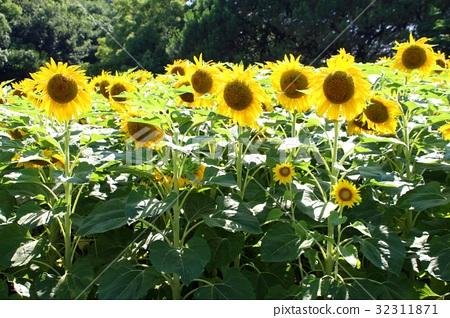 역광에서 태양처럼 빛나는 아름다운 해바라기 32311871