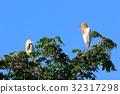 cattle egret, fraud, heron 32317298