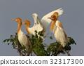 cattle egret, fraud, heron 32317300