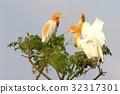 cattle egret, fraud, heron 32317301